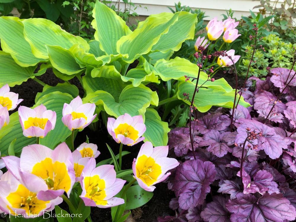 Species tulips with heuchera and hosta
