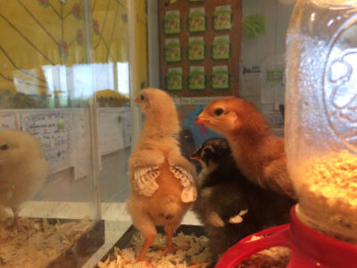 2nd Grade Learns about the Life Cycle of a Chicken