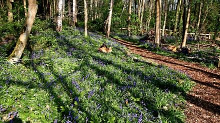 Spinney Trail Bluebells