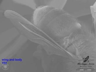 Honey Bee Body 15x
