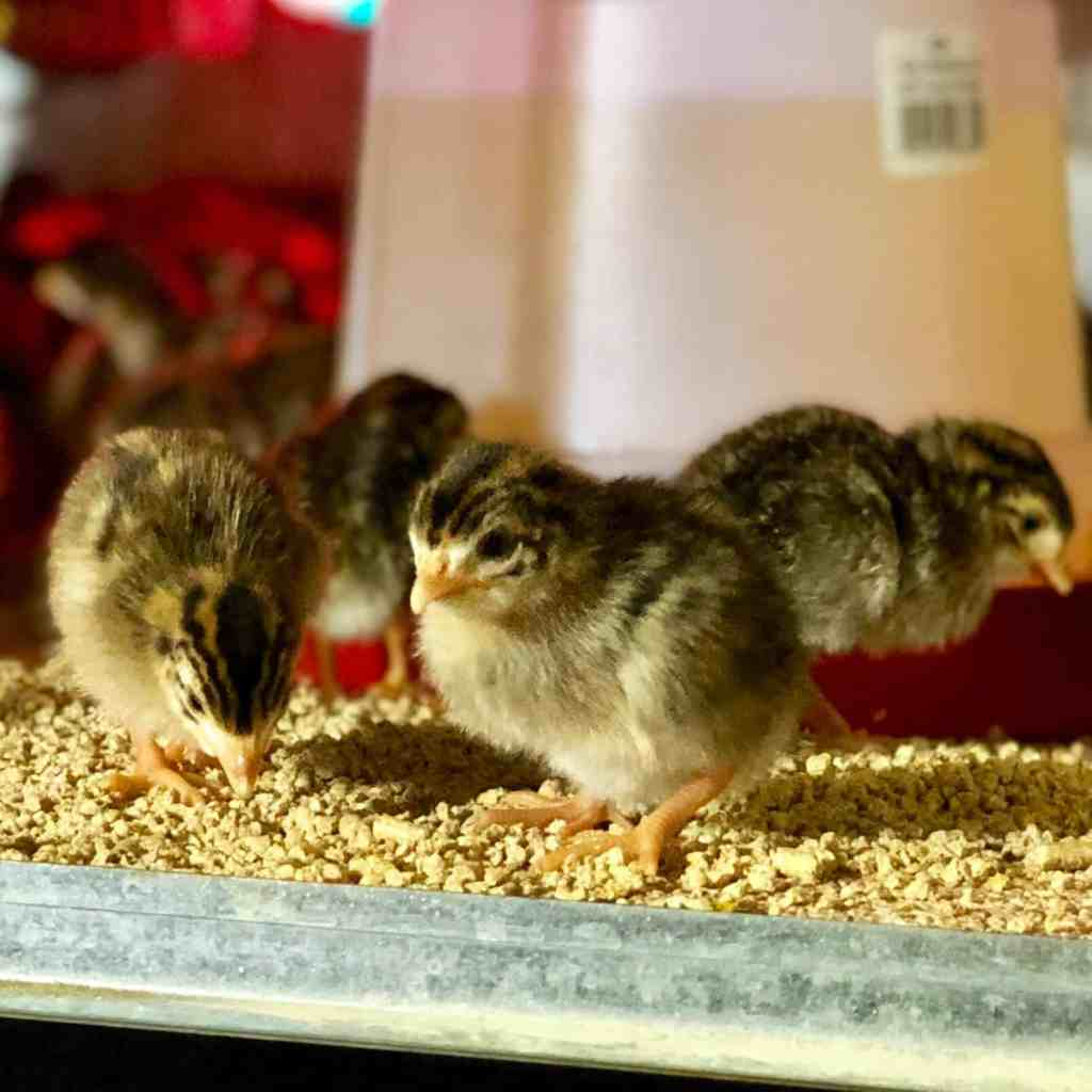 Guinea Fowl Sales 1