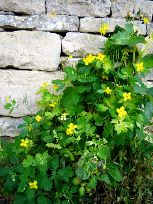 Greater celandine growing against a garden wall (Photograph by John Vallender) (c) Historic England