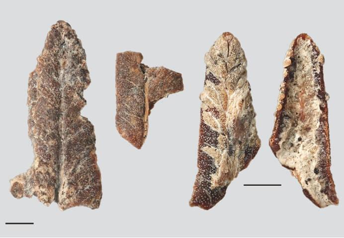 Photograph of fossilised bracken