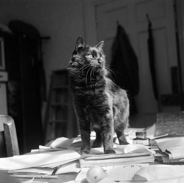A black shorthair cat stands on papers on top of a desk, taken inside an unidentified house on the Isle of Wight, 1960s