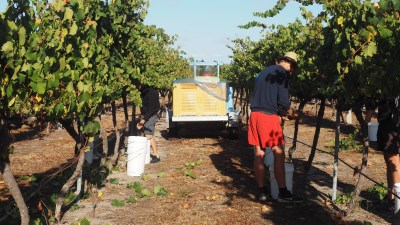 Picking at Cottonvale