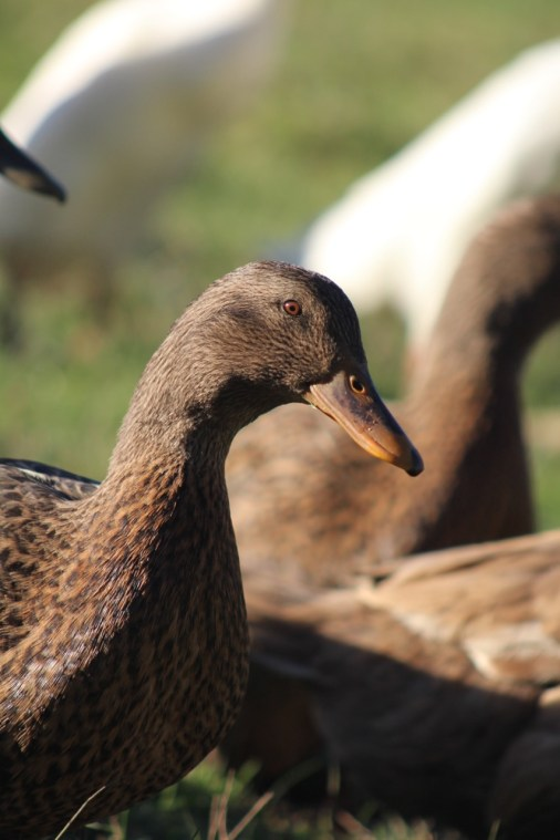 Heritage Farm - Khaki Campbell Duck