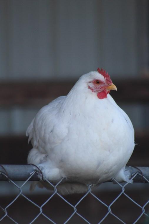 Heritage Farm - White Chicken