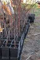 Learn to graft fruit trees 2