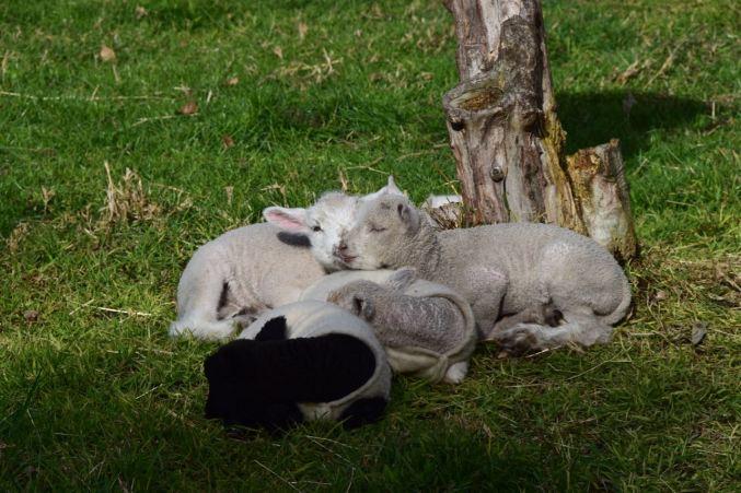 Lambs at Heritage Farm