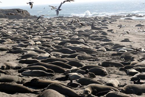 """Breeding colony of Mirounga angustirostris""[elephant seals] by Brocken Inaglory - Own work. Licensed under GFDL via Commons - https://commons.wikimedia.org/wiki/File:Breeding_colony_of_Mirounga_angustirostris.jpg#/media/File:Breeding_colony_of_Mirounga_angustirostris.jpg"
