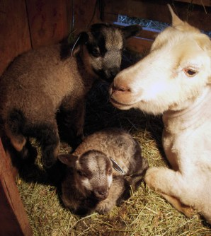 Okay, so this has nothing to do with the bag, but these are all Shetland sheep that live on Hollys Farm. Mom, Dad and two babies.