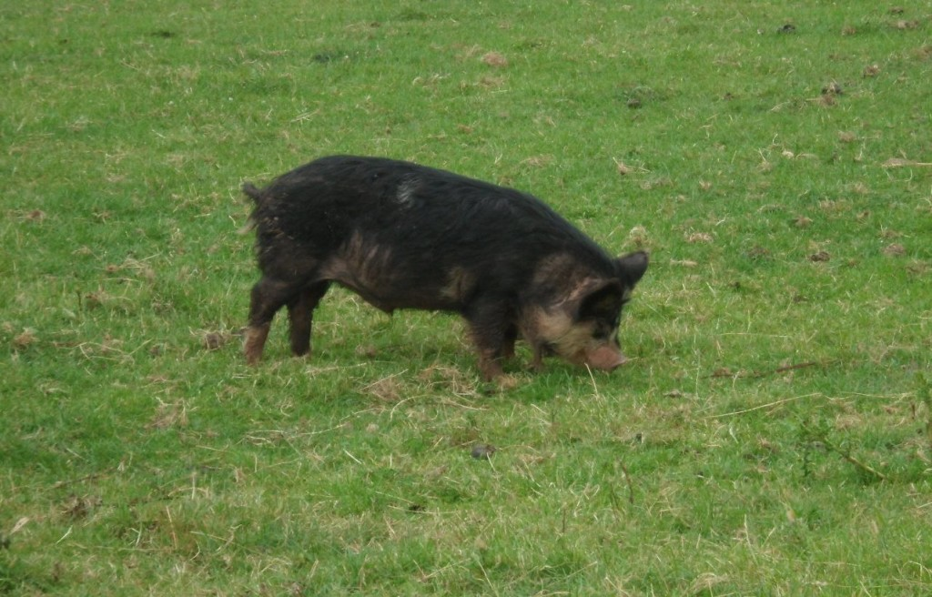 stmaughans_pig