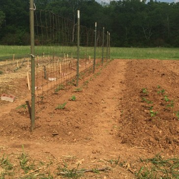 tomatoes will be trained to grow up fencing