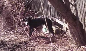 328 Pleasant Ave Herkimer's Curtis Cool aka Curtis Dolan's abused dog foraging in our yard.
