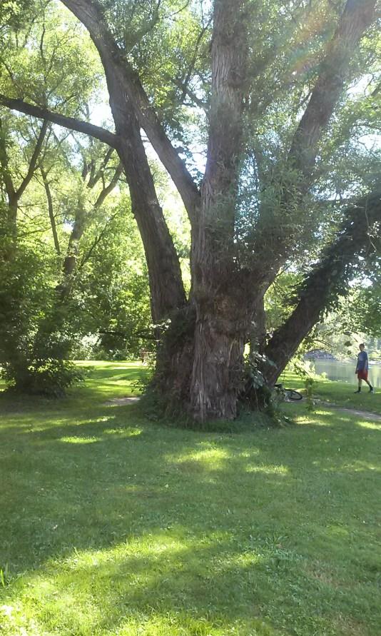 Mohawk River Walk Tree Herkimer