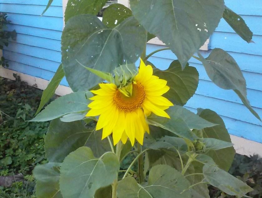 330 Pleasant Avenue Herkimer NY vigilant sunflower