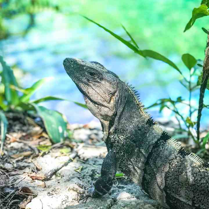 Spot Iguanas Everywhere in Mexico  Adventurers Guide to 1 Week in Tulum - Discover where to eat, where to stay, and adventures such as Scuba diving, snorkeling, kayaking and more! Quintana Roo Mexico #mexico #travel #mexicopacking #wheretostay #hiddengem #vacation #travelguide #adventure #traveltips #northamerica #traveldestinations  #bestbeach #cenote #adventure