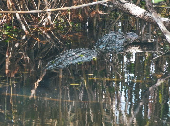 Alligator Everglades National Park. This guide will tell you where to hike, what to do + more! | herlifeadventures.blog | #everglades #nationalpark #florida #travel #destinations