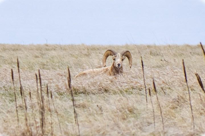 Badlands National Park wildlife spotting, big horn sheep