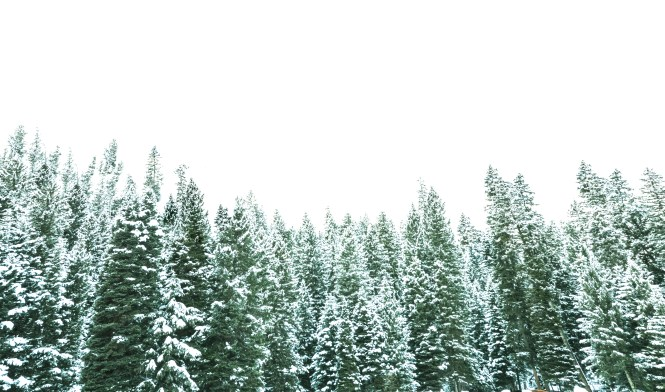 Snow Covered Forest Trees in /big Sky Montana