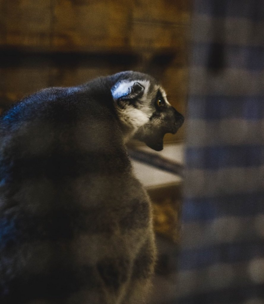 Her Life in Ruins | An Adventure at Kentucky Down Under - a shrieking ring-tailed lemur