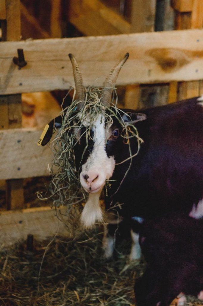 Her Life in Ruins   An Adventure at Kentucky Down Under - A goat with grass on her head poses for the camera in the woolshed