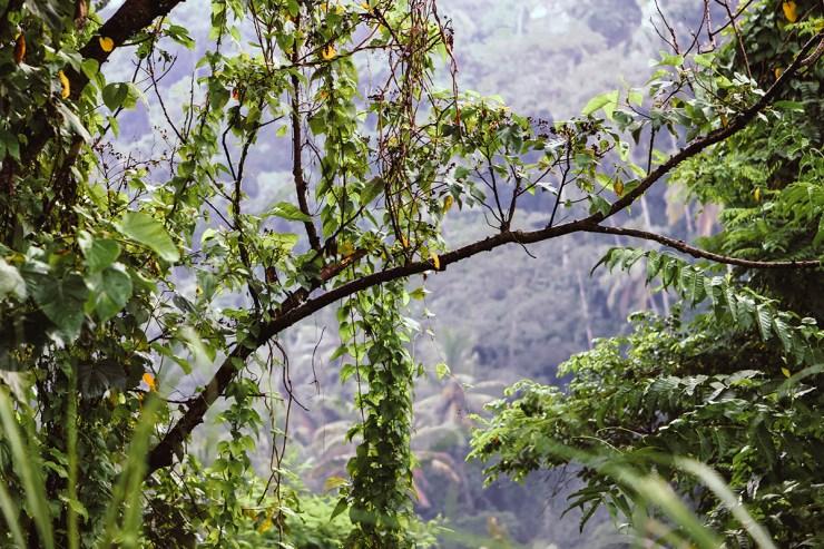 Campuhan Ridge Ubud (5)