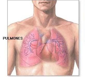 hermandadblanca.org pulmones Los 5 órganos y su función psicológica terapias alternativas rincon salud organos corazón description multimedia