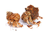 hermit-crabs-in-shells-1