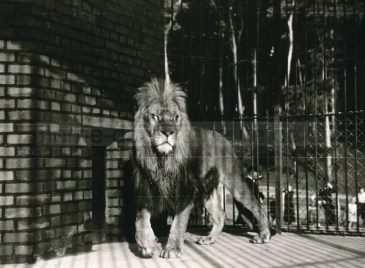 Löwenzwinger im alten Tierpark, Foto Stadtarchiv Herne