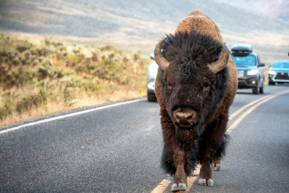 American Bison walking the middle of road in Yellowstone's Lamar