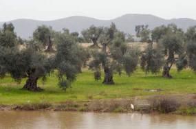 Olivar inundado (4)