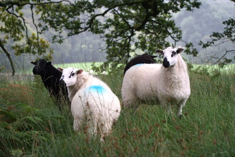 Sheep, North Wales