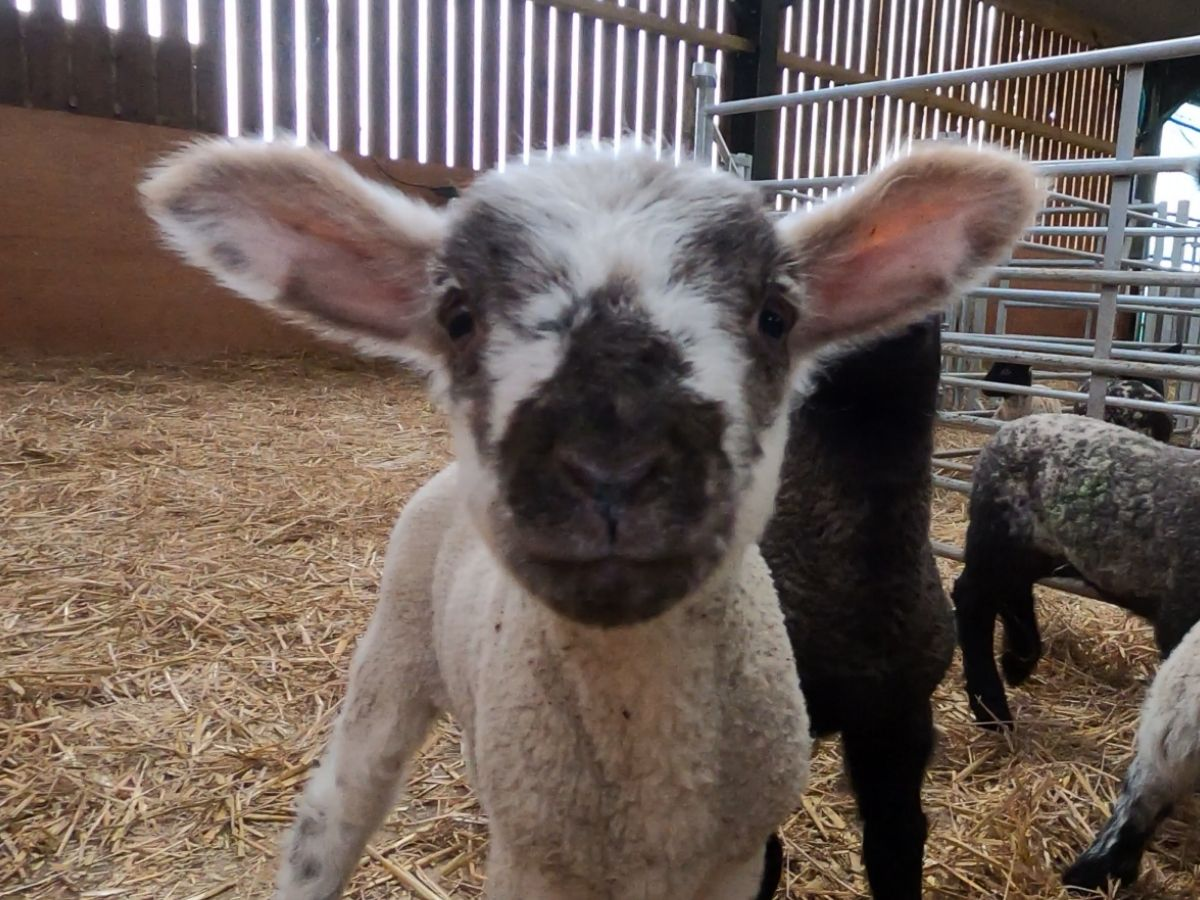 Lambs in the kitchen?
