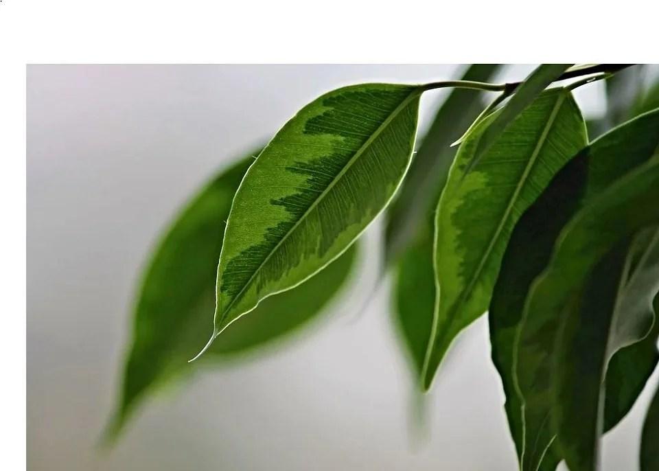 Le ficus, roi des plantes artificielles