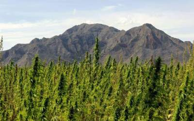 Hemp Defies Hurdles to Make a Comeback in Spain