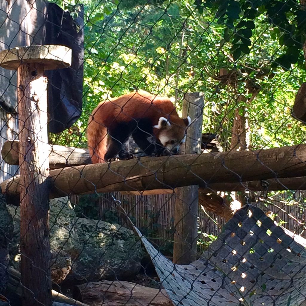 Philly Zoo Red Panda