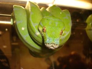 Green Tree Python Powley Exotics