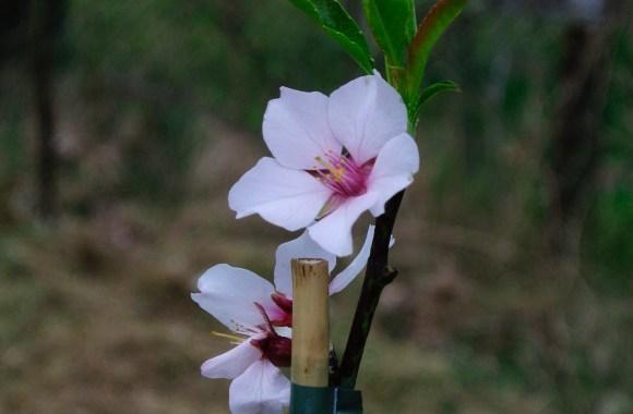 Die Mandel II   Herkunft und Botanik