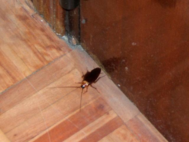 cucarachas grandes