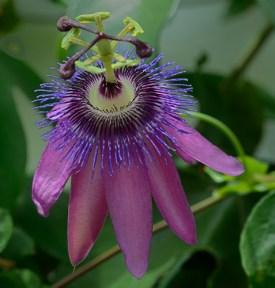 Kelmarsh Passion Flower