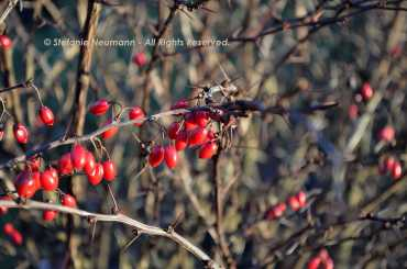 Red Winter Berries © Stefanie Neumann - All Rights Reserved.