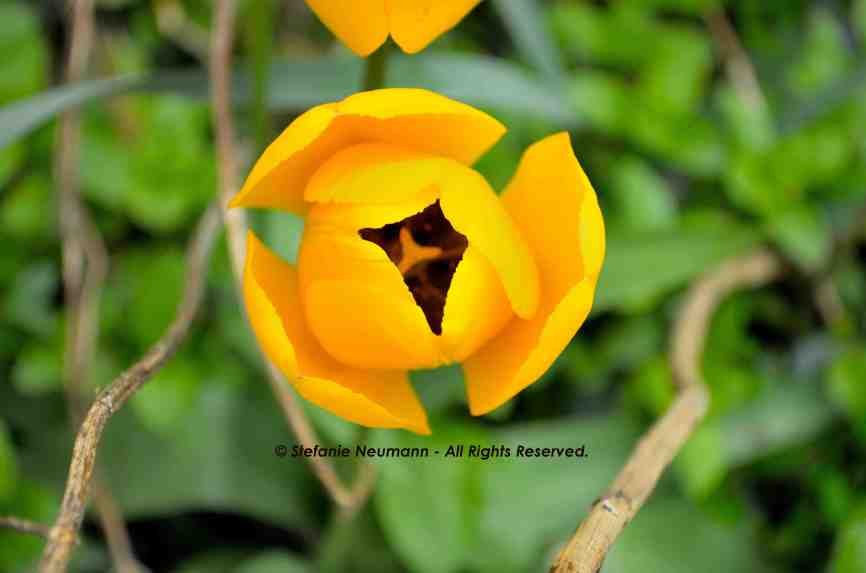 Tulip Yellow © Stefanie Neumann - All Rights Reserved.