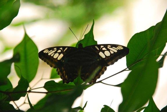 Schmetterling_schwarz