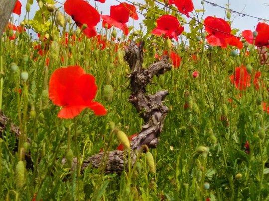 Mohn zwischen Reben im Weinort Hessigheim bei Bed & Wine