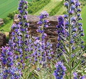 violette Blumen Felsengärten der internationaler Weltfrauentag Weinproben für Frauen in Hessigheim