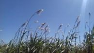Sugar cane plumes-1