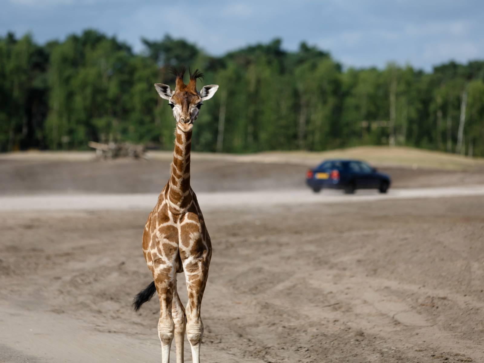 Het Gezinsleven - Uitstapjes - Dierentuin / bezienswaardigheden - Beekse Bergen: kom de Big Five spotten! - De 10 mooiste bezienswaardigheden in Brabant - Giraf bekijken tijdens een autosafari