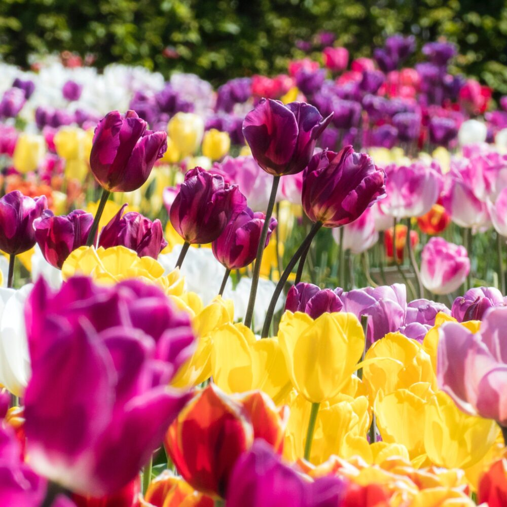 Het Gezinsleven - Vakantie - Nederland - 20 weetjes over Nederland - Tulpenveld