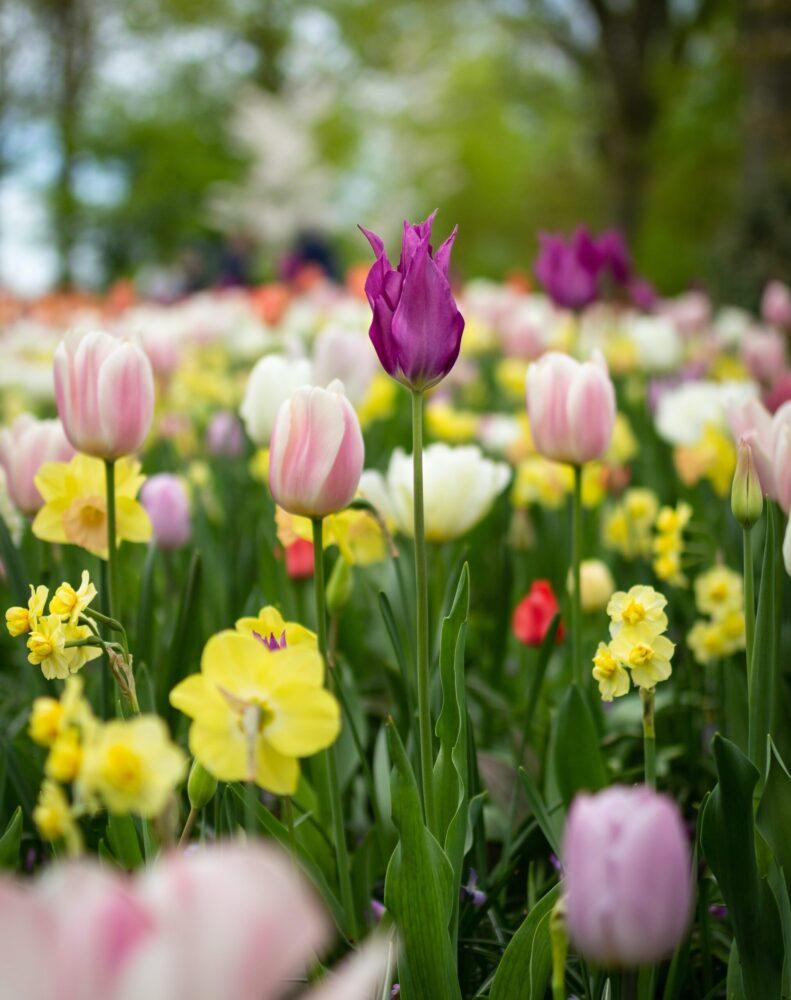 Het Gezinsleven - Vakantie - Nederland - 20 weetjes over Nederland - Paarse tulp
